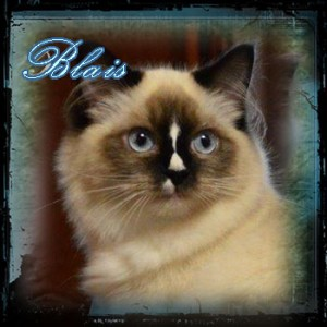Blais Ragdoll CAt