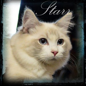 Star Ragdoll Cat