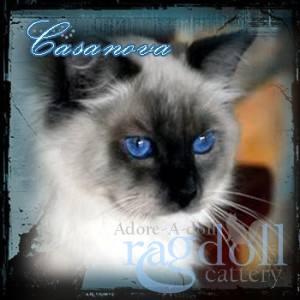 Cassanova Ragdoll Cat