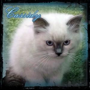 Cassidy Ragdoll Cat