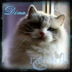 Dina Ragdoll Cat