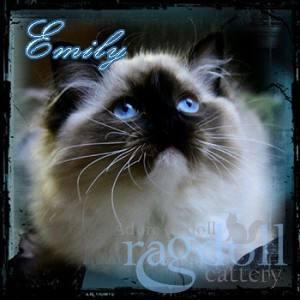 Emily Ragdoll Cat