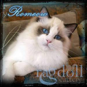 Romeouw Ragdoll Cat