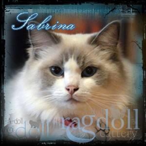 Sabrina Ragdoll Cat