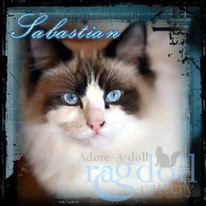 Sebastian Ragdoll Cat