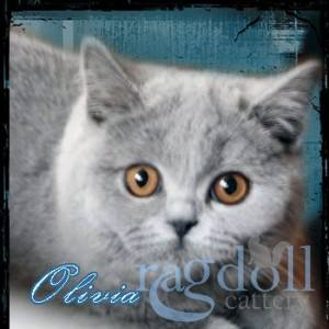 Olivia British Blue Cat