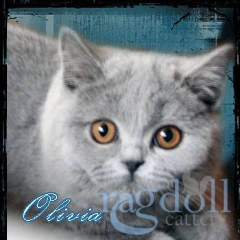 Olivia British Blue Cat