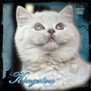 Kingston British Blue Cat