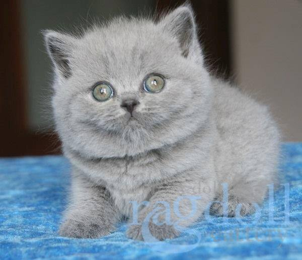 Buy british shorthair south africa