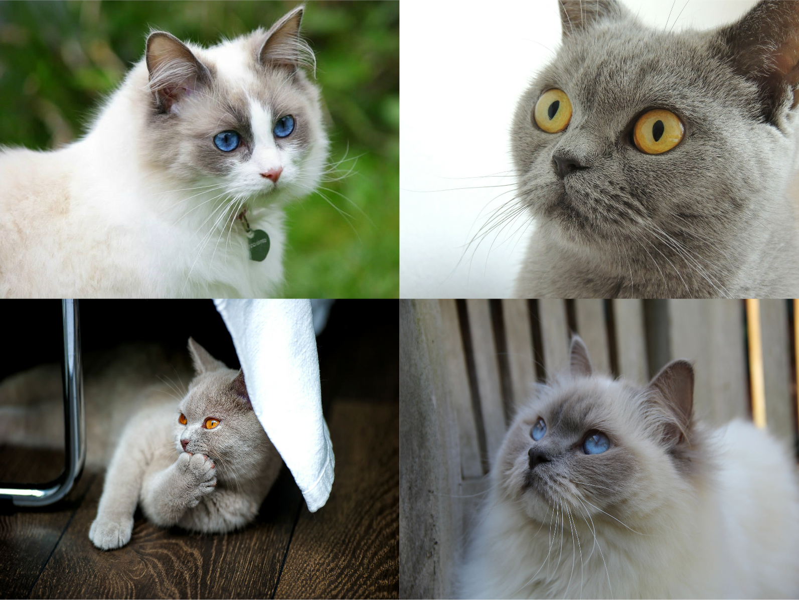 Adoreadoll Boutique Cattery | Registered Breeders of Ragdolls ...